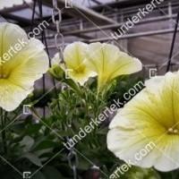 termek2089/citromsarga-petunia-2089-205794746-1200.jpg / Citromsárga petúnia