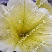 termek2089/citromsarga-petunia-2089-556833148-1200.jpg / Citromsárga petúnia
