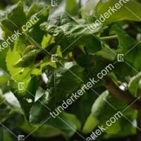 termek2091/levelpirosito-alma-leveltetu-2091-889675608-1200.jpg / Levélpirosító alma-levéltetű