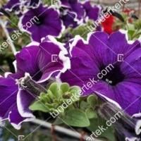 termek2092/blue-picotee-petunia-2092-556462012-1200.jpg / Blue picotee petúnia