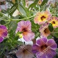 termek2097/afonya-szinvalto-petunia-2097-1611642490-1200.jpg / Áfonya színváltó petúnia