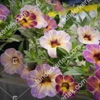 termek2097/afonya-szinvalto-petunia-2097-218174081-1200.jpg / Áfonya színváltó petúnia