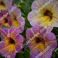 termek2097/afonya-szinvalto-petunia-2097-245785335-1200.jpg / Áfonya színváltó petúnia