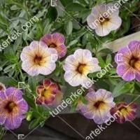 termek2097/afonya-szinvalto-petunia-2097-601076510-1200.jpg / Áfonya színváltó petúnia