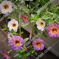 termek2097/afonya-szinvalto-petunia-2097-928084428-1200.jpg / Áfonya színváltó petúnia