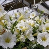 termek2098/hofeher-tisztasag-petunia-2098-1253709585-1200.jpg / Fehér megbocsátás petunia