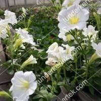 termek2098/hofeher-tisztasag-petunia-2098-643899675-1200.jpg / Fehér megbocsátás petunia