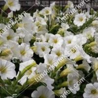 termek2098/hofeher-tisztasag-petunia-2098-670329645-1200.jpg / Fehér megbocsátás petunia
