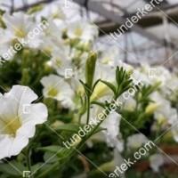 termek2098/hofeher-tisztasag-petunia-2098-781232371-1200.jpg / Fehér megbocsátás petunia