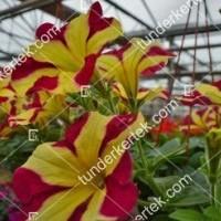 termek2099/szeretet-unnepe-petunia-2099-721308199-1200.jpg / Szeretet ünnepe petunia