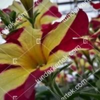 termek2099/szeretet-unnepe-petunia-2099-825199314-1200.jpg / Szeretet ünnepe petunia