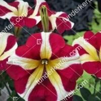 termek2099/szeretet-unnepe-petunia-2099-884169387-1200.jpg / Szeretet ünnepe petunia