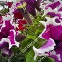 termek2100/rozsaszin-fodros-petunia-2100-2099162782-1200.jpg / Rózsaszínű fodros petunia