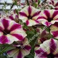 termek2101/csillagos-alom-petunia-2101-739525845-1200.jpg / Csillagos álom petunia