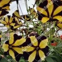 termek2102/napsugar-petunia-2102-2054493045-1200.jpg / Napsugár petunia