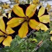 termek2102/napsugar-petunia-2102-848849459-1200.jpg / Napsugár petunia