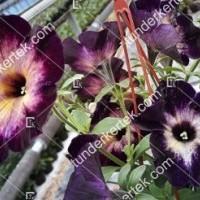termek2103/holdkoros-petunia-2103-1885403573-1200.jpg / Holdkóros petunia