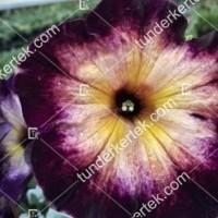 termek2103/holdkoros-petunia-2103-729041481-1200.jpg / Holdkóros petunia
