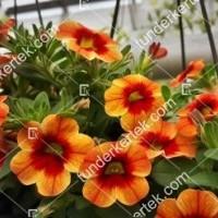 termek2104/narancsos-csok-mini-petunia-2104-1016285845-1200.jpg / Naplemete csókja mini petunia