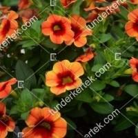 termek2104/narancsos-csok-mini-petunia-2104-640324795-1200.jpg / Naplemete csókja mini petunia