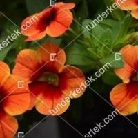 termek2104/narancsos-csok-mini-petunia-2104-776864054-1200.jpg / Naplemete csókja mini petunia