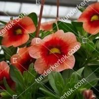termek2106/narancsos-csok-mini-petunia-2106-790646934-1200.jpg / Narancsos csók mini petunia