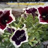 termek2108/kremszegelyu-magenta-petunia-2108-1135145637-1200.jpg / Krémszegélyű magenta petúnia