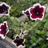 termek2108/kremszegelyu-magenta-petunia-2108-1645415514-1200.jpg / Krémszegélyű magenta petúnia