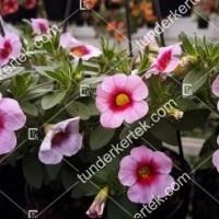 termek2111/rozsaszin-csok-mini-petunia-2111-1348912400-1200.jpg / Pink csók mini petúnia