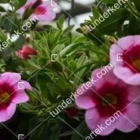 termek2111/rozsaszin-csok-mini-petunia-2111-1561965648-1200.jpg / Pink csók mini petúnia