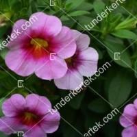 termek2111/rozsaszin-csok-mini-petunia-2111-1634433280-1200.jpg / Pink csók mini petúnia