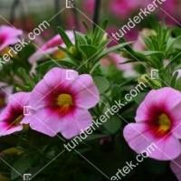 termek2111/rozsaszin-csok-mini-petunia-2111-1701157070-1200.jpg / Pink csók mini petúnia