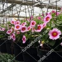 termek2111/rozsaszin-csok-mini-petunia-2111-1994994866-1200.jpg / Pink csók mini petúnia