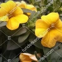 termek2112/citromsarga-mini-petunia-2112-1056342200-1200.jpg / Citromsárga mini petúnia