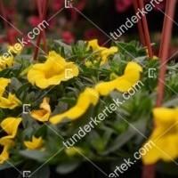 termek2112/citromsarga-mini-petunia-2112-1084215855-1200.jpg / Citromsárga mini petúnia