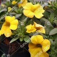 termek2112/citromsarga-mini-petunia-2112-306780770-1200.jpg / Citromsárga mini petúnia