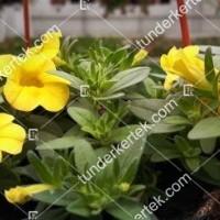 termek2112/citromsarga-mini-petunia-2112-714088785-1200.jpg / Citromsárga mini petúnia