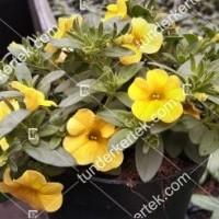 termek2112/citromsarga-mini-petunia-2112-903649512-1200.jpg / Citromsárga mini petúnia