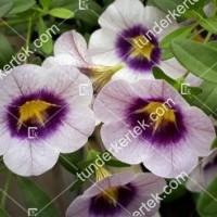 termek2114/levendulaszinu-mini-petunia-2114-1329558498-1200.jpg / Levendulaszínű mini petúnia