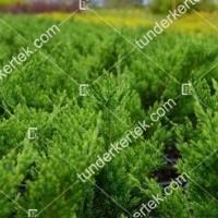 termek2123/zoldlevelu-nehezszagu-kuszoboroka-2123-129398325-1200.jpg / Zöldlevelű nehézszagú kúszóboróka