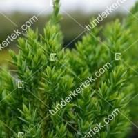 termek2123/zoldlevelu-nehezszagu-kuszoboroka-2123-1400689812-1200.jpg / Zöldlevelű nehézszagú kúszóboróka