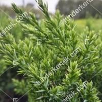 termek2123/zoldlevelu-nehezszagu-kuszoboroka-2123-1500920192-1200.jpg / Zöldlevelű nehézszagú kúszóboróka