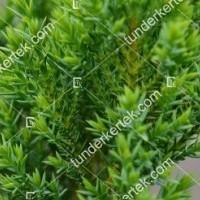 termek2123/zoldlevelu-nehezszagu-kuszoboroka-2123-1995194214-1200.jpg / Zöldlevelű nehézszagú kúszóboróka