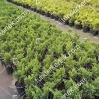 termek2123/zoldlevelu-nehezszagu-kuszoboroka-2123-943383039-1200.jpg / Zöldlevelű nehézszagú kúszóboróka