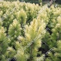 termek2127/feher-cukorsuveg-fenyo-2127-1808834450-1200.jpg / Fehér cukorsüvegfenyő