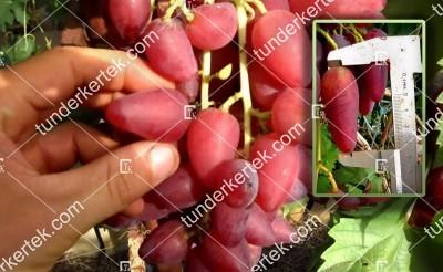 teszt szőlő