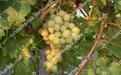Suzy csemegeszőlő