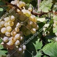 termek2174/olaszrizling-csemegeszolo-2174-1066331336-1200.jpg / Olaszrizling csemegeszőlő