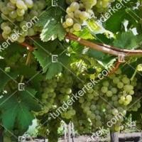 termek2174/olaszrizling-csemegeszolo-2174-1368305894-1200.jpg / Olaszrizling csemegeszőlő