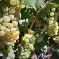 termek2174/olaszrizling-csemegeszolo-2174-2055671817-1200.jpg / Olaszrizling csemegeszőlő